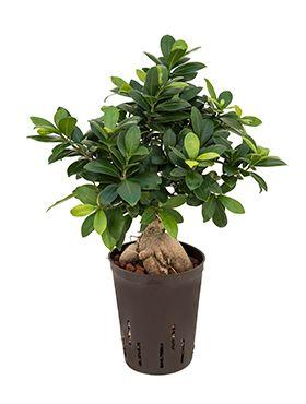 Ficus micr. ginseng 400 gram