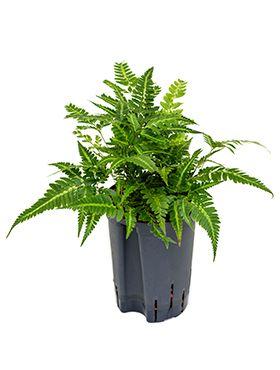 Rumohra variegata