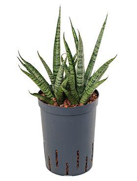 Sansevieria spikes marmoratus