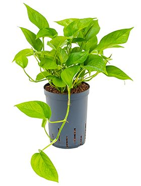 Scindapsus (epipremnum) green