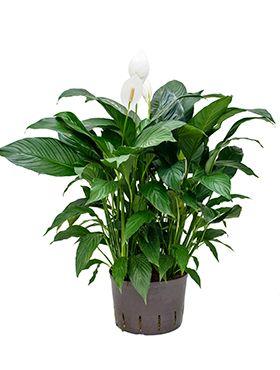 Spathiphyllum gokyo