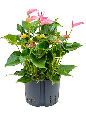 Anthurium joli rose