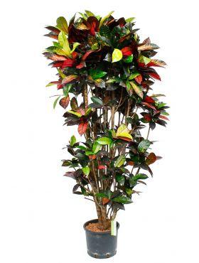 Hydrocultuur kamerplant Croton kopen bij 123planten