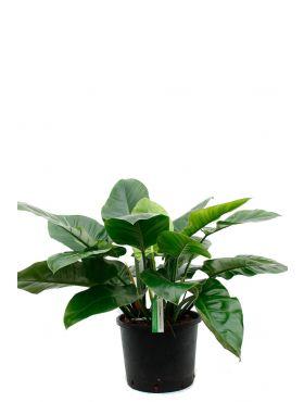 Philodendron Imperial green kamerplant kopen bij 123planten