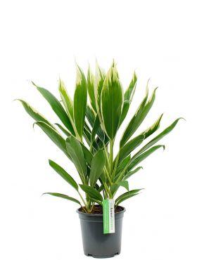 Cordyline Conga kamerplant kopen bij 123planten