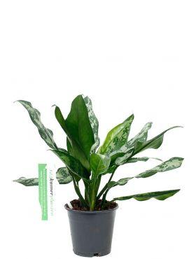 Mooie schaduw plant Aglaonema Maria