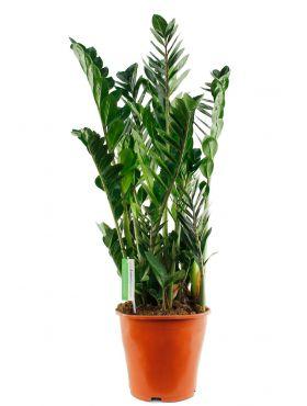 Leuke grote Zamioculcas kamerplant kopen