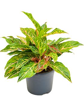 Aglaonema ruby