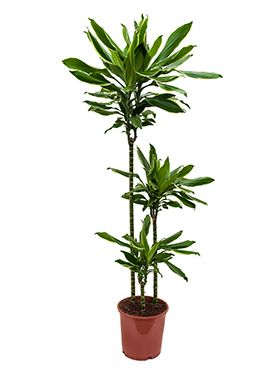 Dracaena gold dream