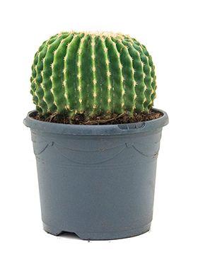 Echinocactus grusonii inermis