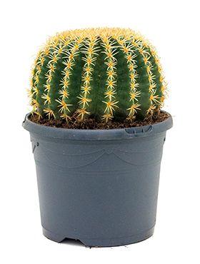 Echinocactus grusonii intermedius