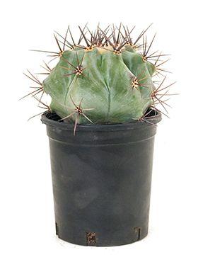 Echinocactus ingens