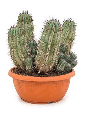 Euphorbia horrida