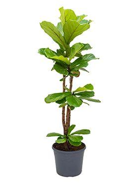 Ficus lyrata (130-150)