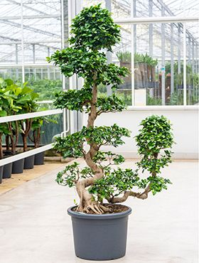 Ficus microcarpa compacta (170-190)
