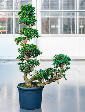 Ficus microcarpa compacta (160-180)