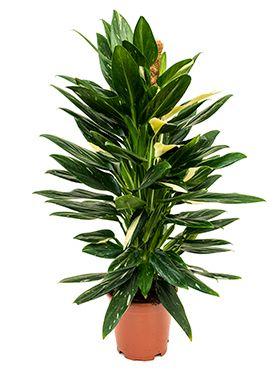 Philodendron cobra