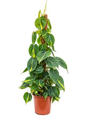 Philodendron grand brasil