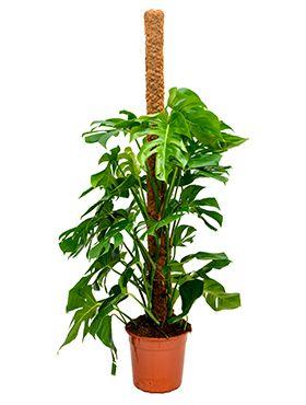 Philodendron pertusem (monstera)