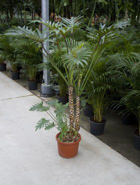 Philodendron xantal