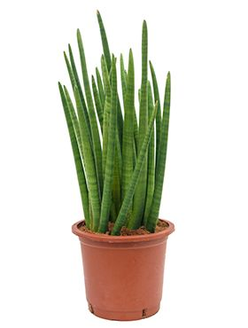 Sansevieria enjoy