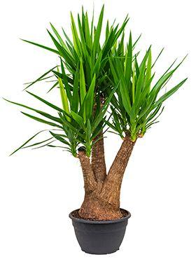 Yucca Verzorging Tips Informatie 123plantennl