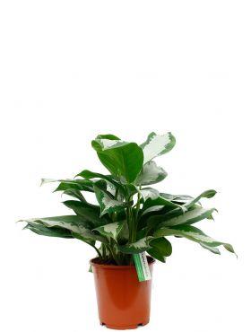 Groene kamerplant met grote bladeren Aglaonema silver moon