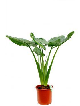 Alocasia calidora kamerplanten webshop