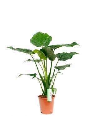 Alocasia met groene grote bladeren kopen