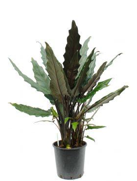 Grote Alocasia lauterbacchiana kopen bij 123planten