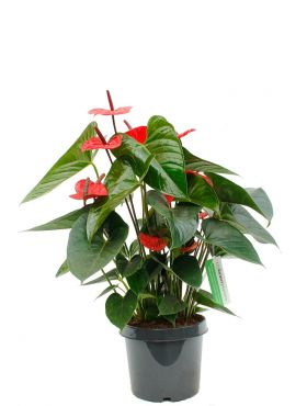 Anthurium and. dark red