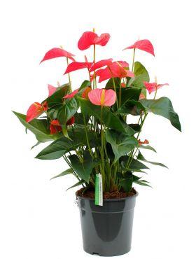 Anthurium met roze bloemen kopen bij 123planten