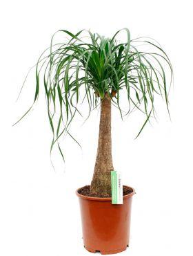 Beaucarnea recurvata kamerplant kopen bij 123planten