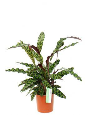 Calathea insignis pauwenplant