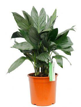 Palm Chamaedorea Metalica kopen bij 123planten