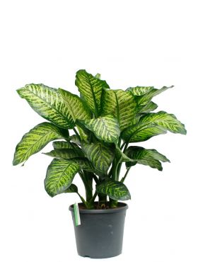 Grote Dieffenbachia maroba kopen bij 123planten