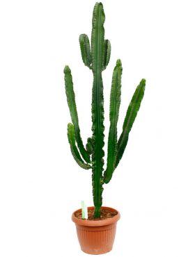 Grote Euphorbia Erytrea cactus
