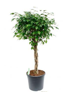 Mooie grote Ficus Benjamina kopen bij 123planten