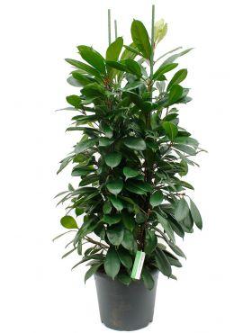 Mooie groene Ficus kamerplant met drie stammen kopen bij 123planten