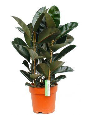 Ficus elastica huisplant