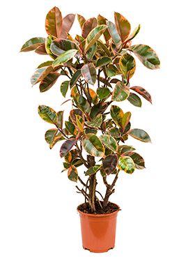 Ficus elastica belize