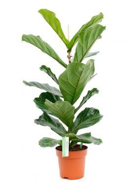 Ficus Lyrata kamerplanten