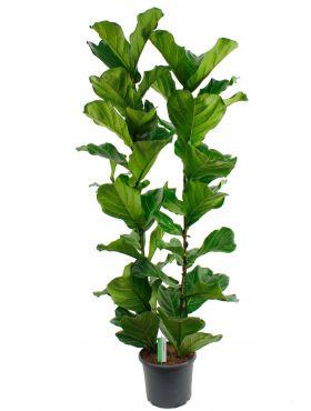 Ficus Lyrata met twee stammen