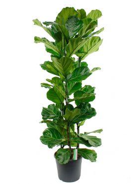 Ficus Lyrata met drie stammen