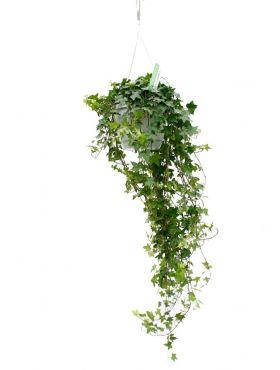 Grote Hedera Helix hangplant kopen bij 123planten