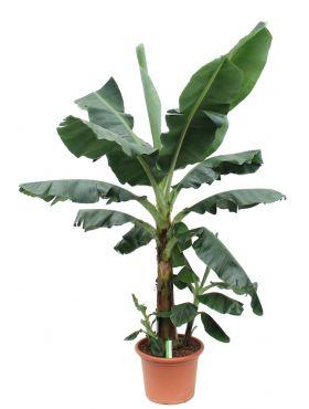 Hele grote bananenplant kopen bij 123planten