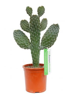 Opuntia consolea Cactus kamerplant online bestellen