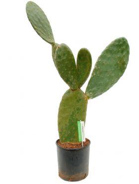Grote Opuntia indica cactus kopen bij 123planten