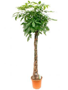 Grote Pachira aquatica kamerplant kopen bij 123planten