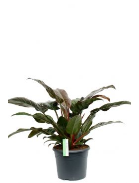 Philodendron imperial red kamerplant of kantoorplant